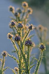 Flora Les Agriates