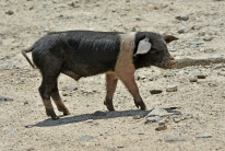 Korsykańska fauna