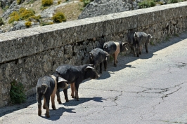 Korsykańskie świnki