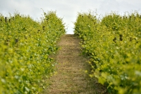 Winiarska Dolina Chianti