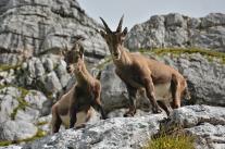 Alpejska fauna (Alpy Julijskie, Włochy)
