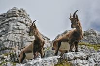 Oko w oko z capra ibex (Alpy Julijskie, Słowenia)