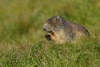 Alpejska fauna